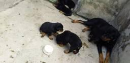 Filhote puro de Rottweiler