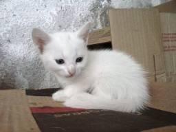 Título do anúncio: Gato Branco de Olho azul