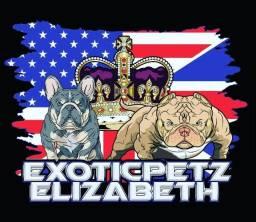 Título do anúncio: Bulldog Frances Macho Blue Fawn exotico