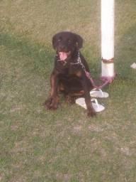Título do anúncio: Rottweiler macho para cobertura!