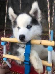 Título do anúncio: Husky siberiano olhos azuis . Parcelo até 12 x no cartão