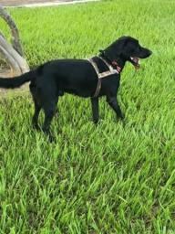 Labrador preto