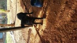 Labrador 5 meses barato