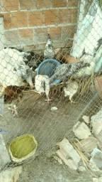 Vendo 4 frango macho e 1 franga femea por 20 reais cada um