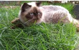 Gato persa top show