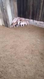 Porca de cria
