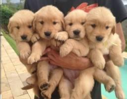 Golden Retriever Lindos Filhotes