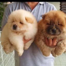 Lindos filhotes de Chow chow