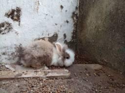 Título do anúncio: Mini coelho Coelho Leão (Lionhead rabbit) promoção dia das crianças