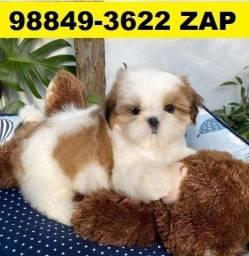 Canil Filhotes Líder Cães BH Shihtzu Lhasa Yorkshire Pug Bulldog Maltês Beagle