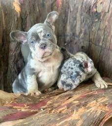 Título do anúncio: Bulldog Frances fêmea blue Merle exótica