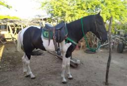 Cavalo campolina puro