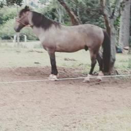 Cavalo bom no laço