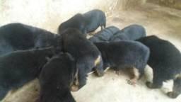 Rottweiler para vender