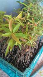 Mudas de eucalipto Urograndis e Citriodora