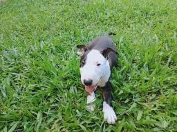 Vende-se filhote de Bull terrier