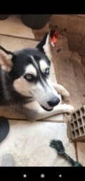 Título do anúncio: Husky siberiano fêmea