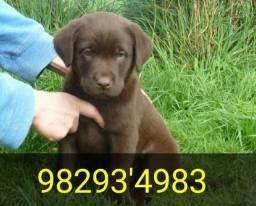 Título do anúncio: Labrador chocolate