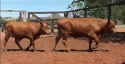 Venda de touros senepol