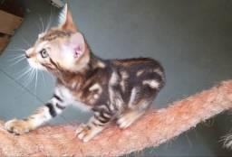 Gato Bengal Marble