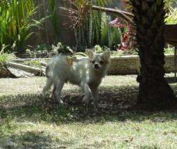 Filhote macho de chihuahua
