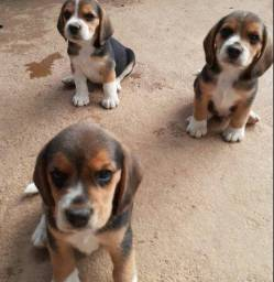 Beagles Machos lindos