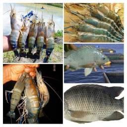 Consultoria Técnica em Piscicultura (peixes) e Carcinicultura (camarão)