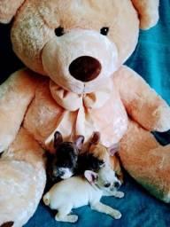 Título do anúncio: Legítimos filhotes de Yorkshire Terrier e Bulldog Francês