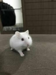 Alguém vendendo hamster
