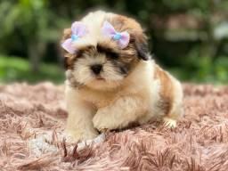 Bebê mini shih Tzu com pedigree