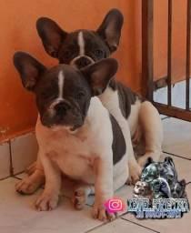 Vende-se bulldog francês