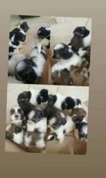 Filhote de lhasa apso