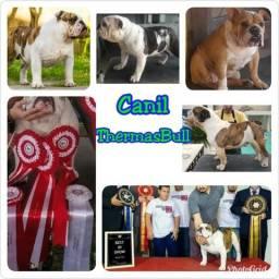 Canil Bulldogue Inglês