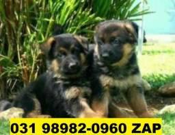 Canil Lindos Cães Filhotes BH Pastor Labrador Golden Akita Chow Chow Rottweiler