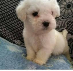 Filhote macho de poodle mini toy