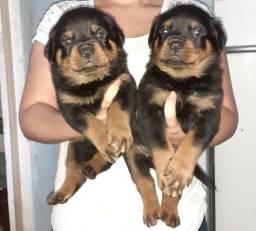 Vendo lindos filhotes de rotvailer legítimos Santo André São *