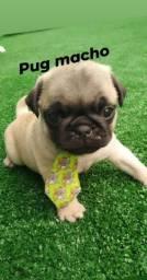 Venha se encantar com filhotes de Pug