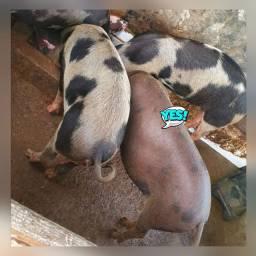 Reserve seu porco para Natal