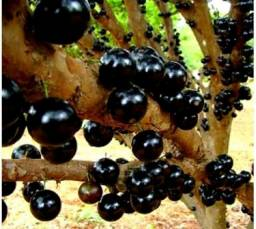 Jabuticabas/mudas frutíferas/ 50,00 COM BRINDE