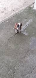 Cachorro budg campeiro