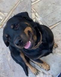 Título do anúncio: Rottweiler Prenha Procura um Dono
