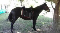 Vende-se Cavalo/Égua pitiço - 3 anos - super mansa