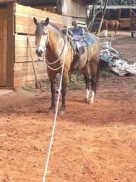 Vendo égua boa na lida e cavalgada muito mansa