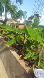 Vd mudas de banana roxa