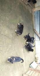 Filhotes de pastor alemão capa preta