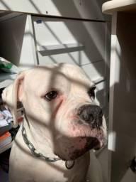 Boxer albino precisa de uma namoradinha urgente, prestes operar e queria ter filhotes