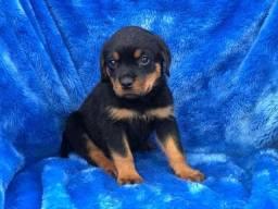 Rottweiler com pedigree e micro chipe