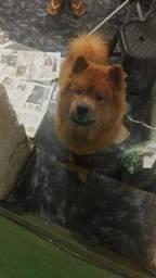 Título do anúncio: Vendo um cachorro  CHau chau