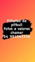 Título do anúncio: Filhotes de pit bull aceito cartão