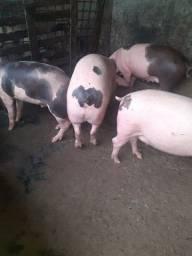 6 porcos bons pra vender